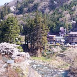 Enjoy Hanami at Shima Onsen! When is the best time to see cherry blossoms here?