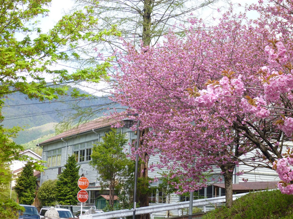 Sakura at Shima Onsen town