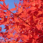 Autumn leaves. The Japanese natural highlights, along with cherry-blossom viewing