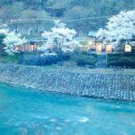 [HOT四万す柏屋 Vol.192] 一気に桜が満開!