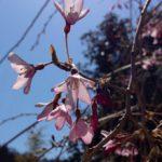 四万温泉の桜の見頃は?