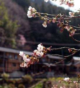 四万温泉の桜
