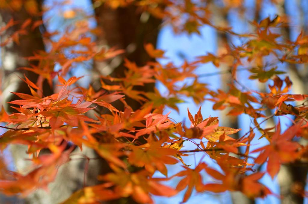 四万温泉柏屋旅館の紅葉