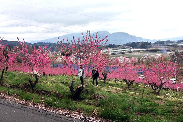 花桃が満開の美野原