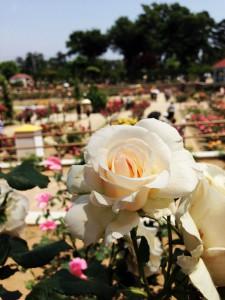 前橋市のバラ園 薔薇