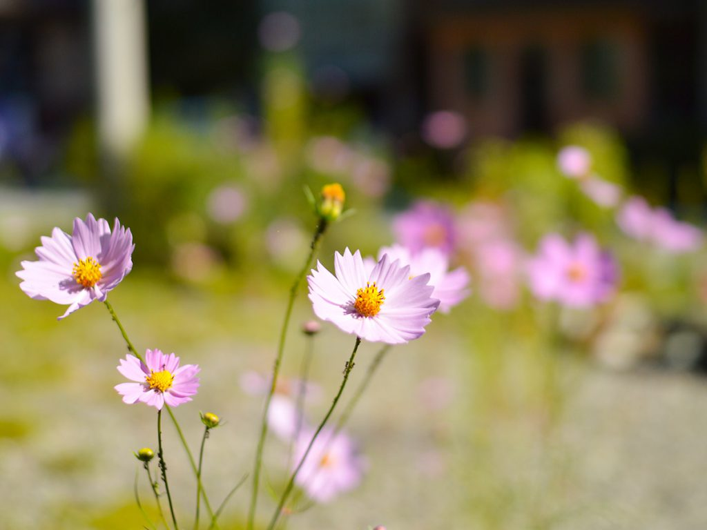 四万温泉の秋の花