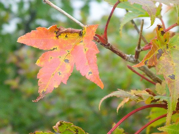 稲包の紅葉