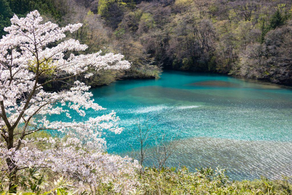 四万湖と桜