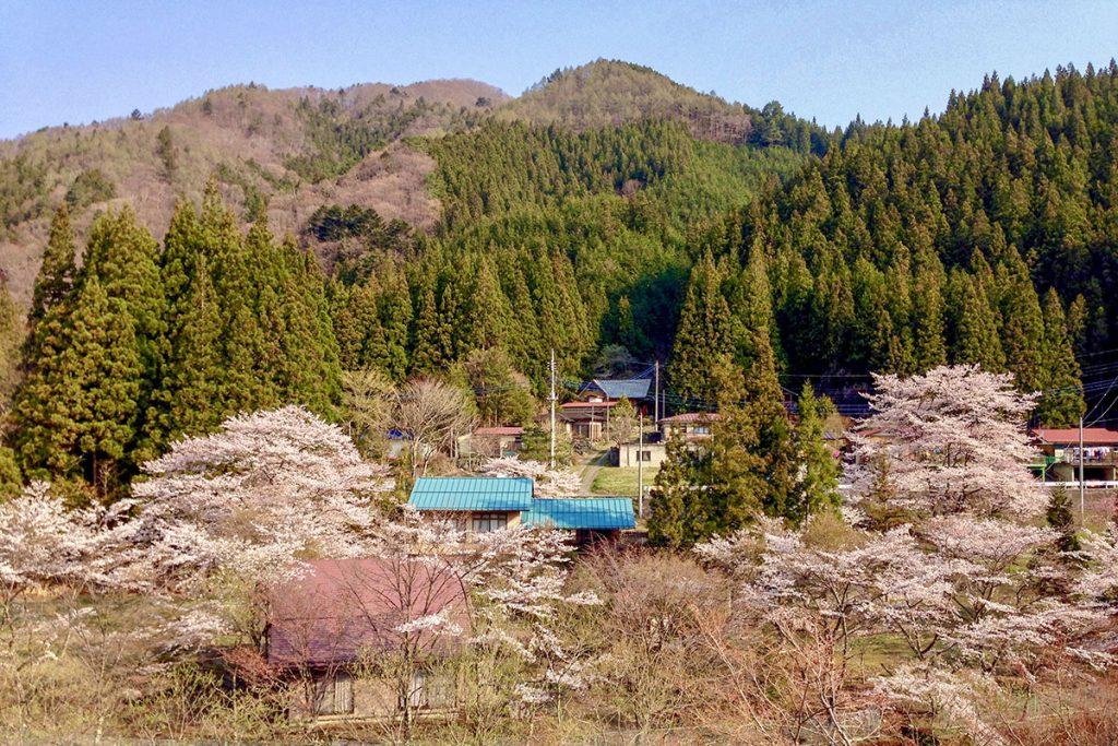 四万温泉厚畑の桜