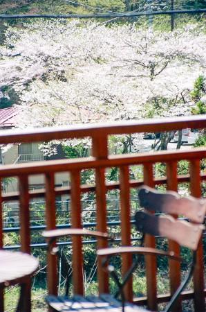 柏屋旅館の桜