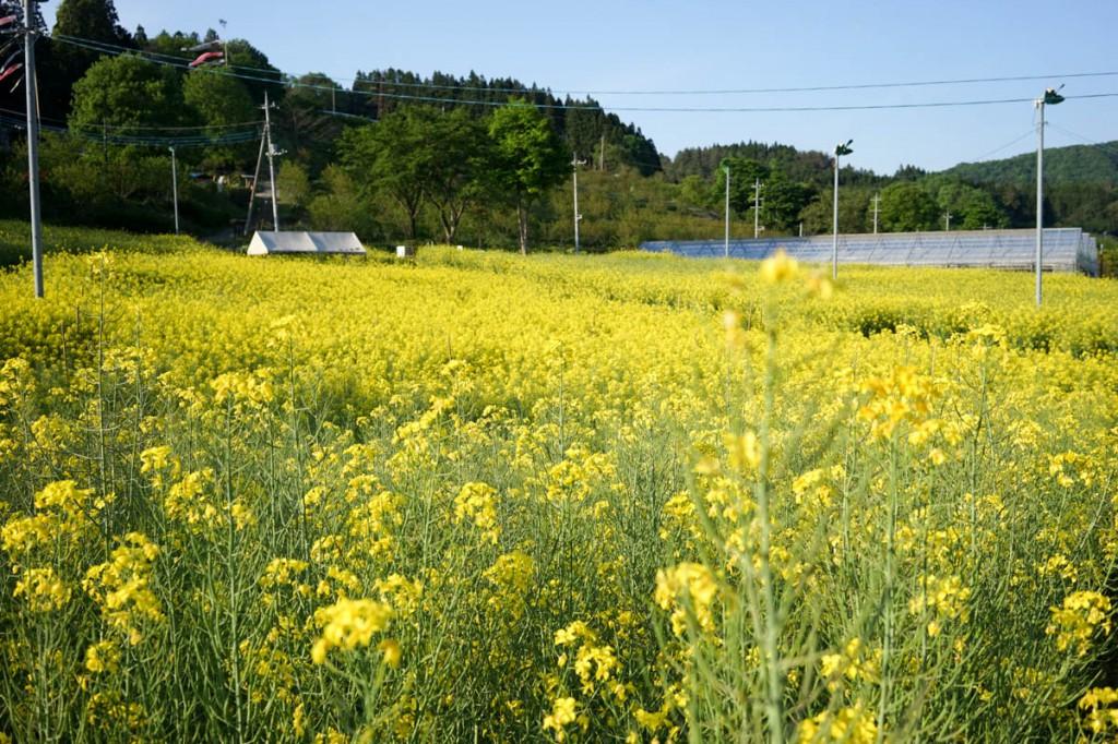 美野原の菜の花