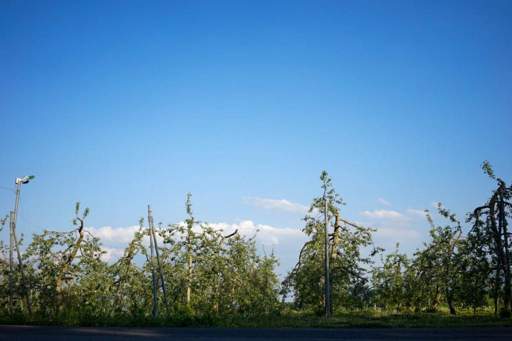 りんごの花とりんご畑