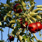 四万温泉周辺でリンゴ狩り