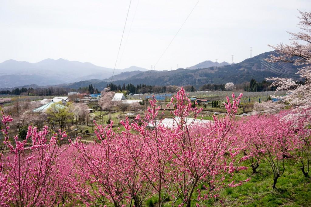 花の駅美野原の花桃