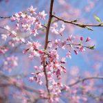 お急ぎください!? 今年の四万の桜は早めです