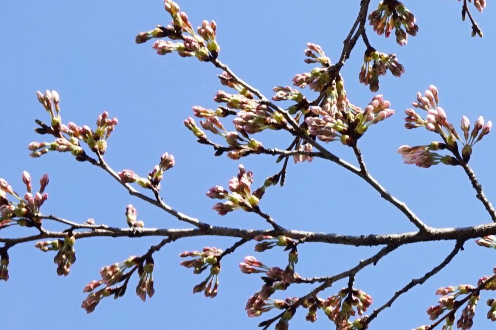 清流の湯の桜