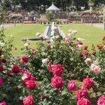 薔薇が満開!敷島公園ばら園、四万温泉から車で1時間少々です