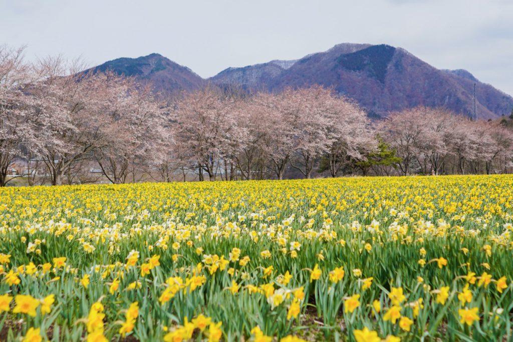 岩井親水公園の桜と水仙