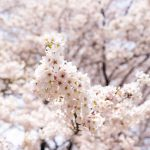 春の花々を楽しもう! 四万温泉の花もそろそろ?