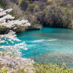いよいよ、四万温泉の桜がやってきました!