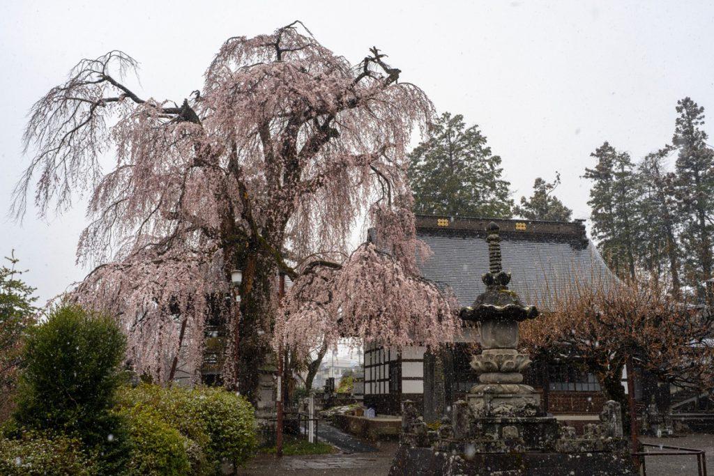 中之条林昌寺のしだれ桜