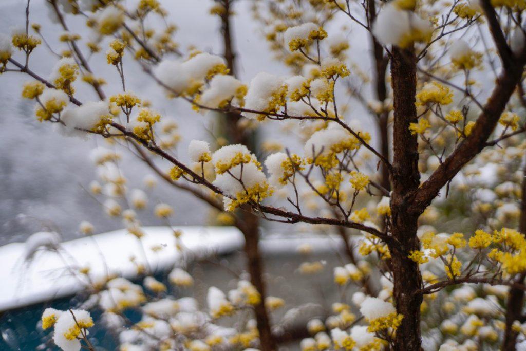 春の花と雪