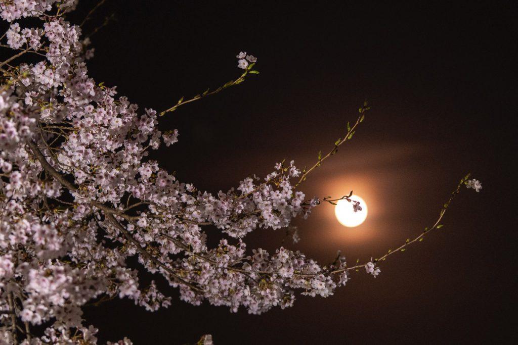 中之条ガーデンズの夜桜