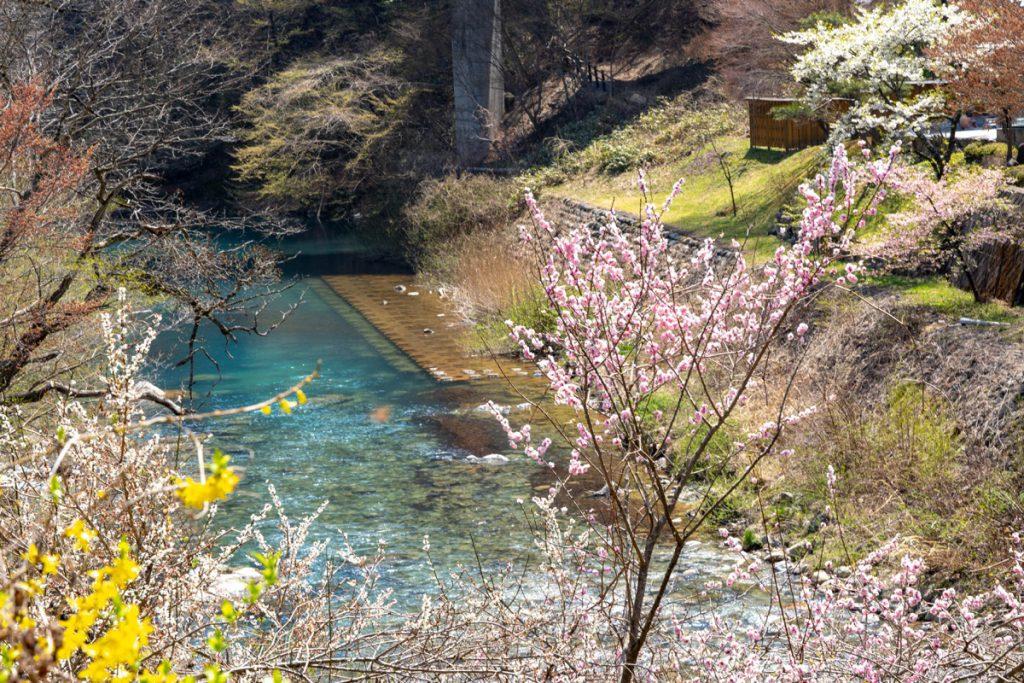 四万ブルーと桜