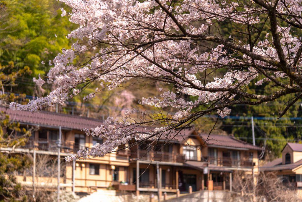 柏屋旅館前の桜が満開です