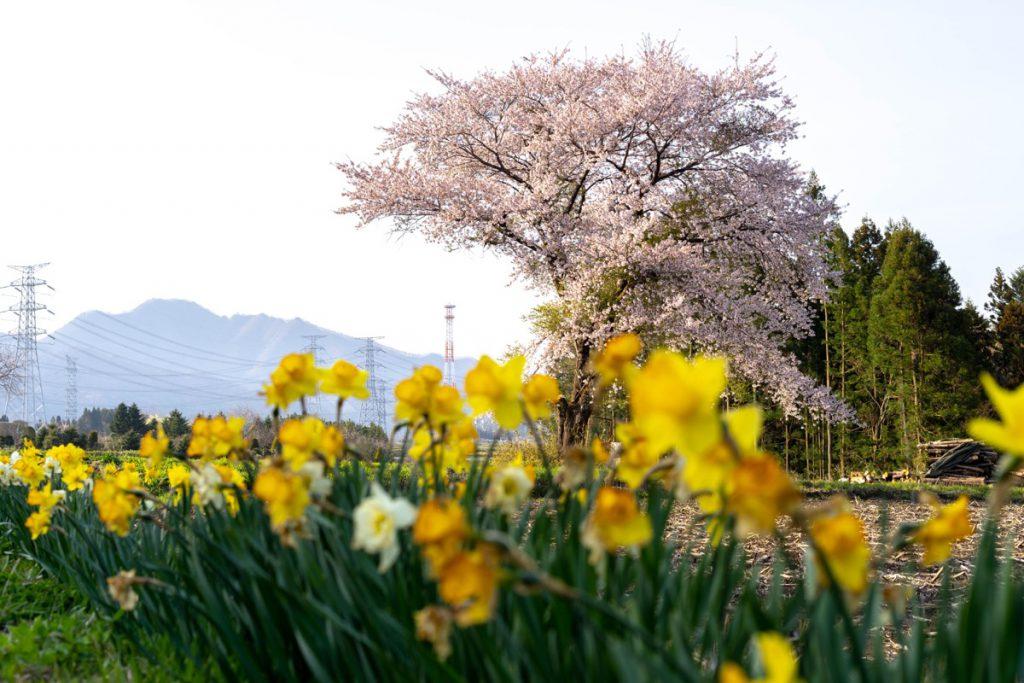 美野原の桜