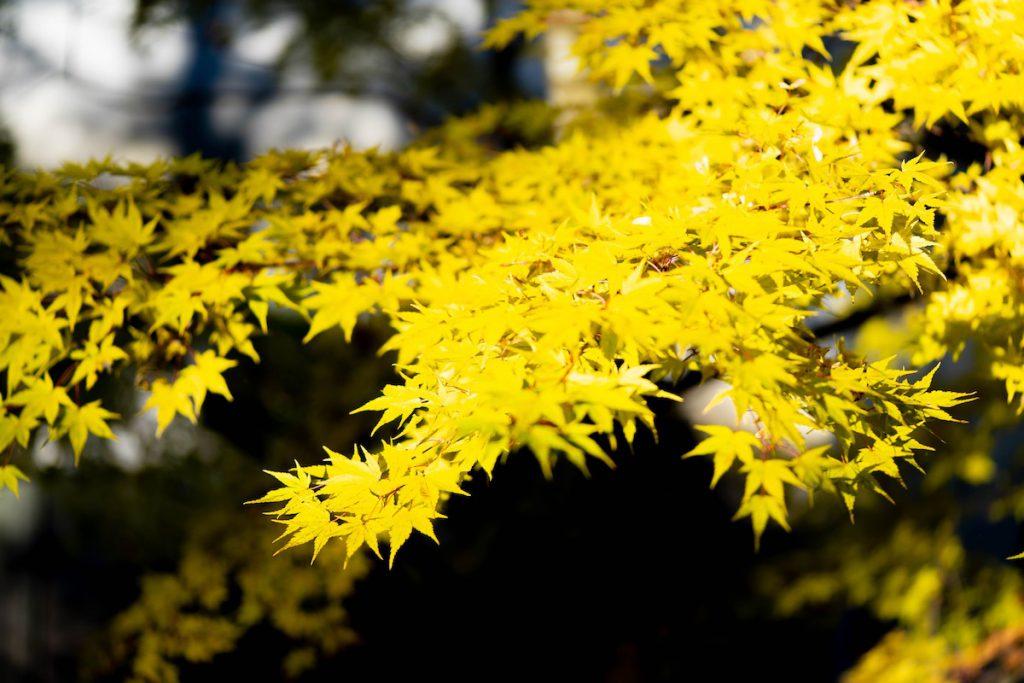 四万温泉の黄葉