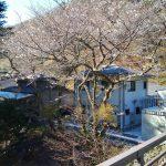 四万の桜情報