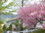 第三小学校の八重桜